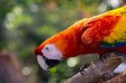 Greenwing macaw Baby