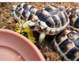 Heathy Tortoises For Sale