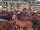 Kalahari Goats