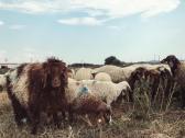 Awassi Sheep