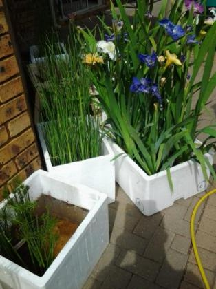 Koi Fish ponds and pools - We Supply water plant