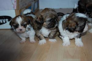 Shih Tzu Dogs Or Puppies for sale in South Africa | Public
