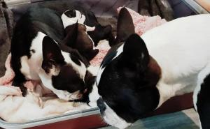 Pure bred Boston Terrier puppies for sale