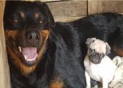 2 female rottweiler for sale