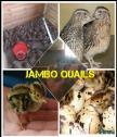 Jambo quails