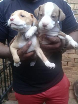 8 pitbull puppies for sell