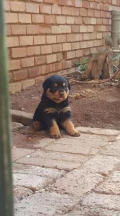 Adroable Rottweiler Puppies
