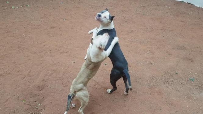 Blue nose pitbull puppies