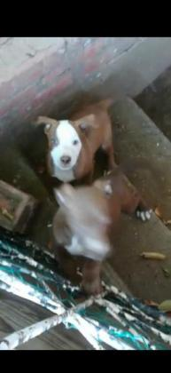 Brown Purebreed Red nose American Pitbull Terrier Pups
