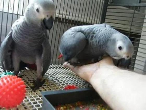 male and female African grey parrot for sale in Camps Bay, Western Cape