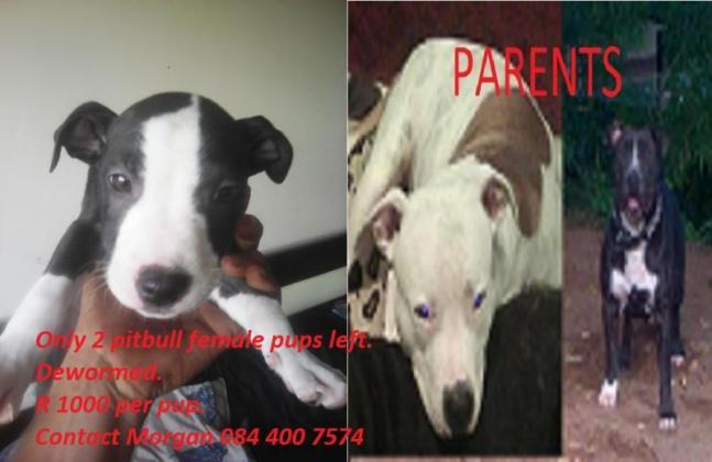 Puppies for sale in Pietermaritzburg, KwaZulu-Natal