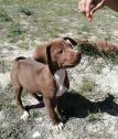 Pit bull pups
