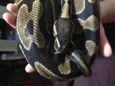 Beautiful male Ball Python for sale!