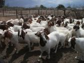 Full Blood Boer Goats, Dorper Sheep, Bonsmara, Brahman Cattle