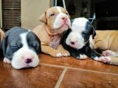 Purebred American Pitbull puppies for sale