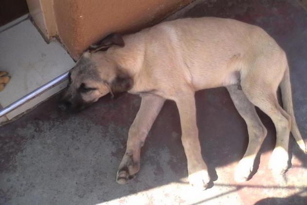 3 month old Boerboel puppy in Pretoria, Gauteng