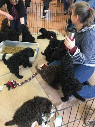 American Barbet puppies for sale very affectionate Dogs in Bryanston, Gauteng