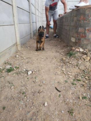 Belguim Malinoi Pups for sale