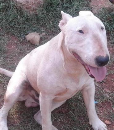 English Bull Terrier puppies