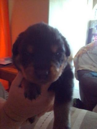 Rottweiler puppy's in Boksburg, Gauteng