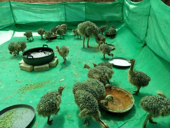 Ostrich Chicks and Eggs For sale 0659608400