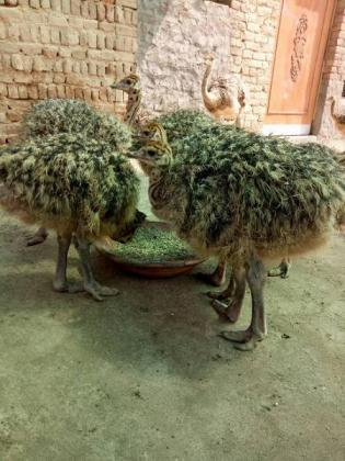 Ostrich Chicks and Eggs For sale 0659608400 in Mossel Bay, Western Cape