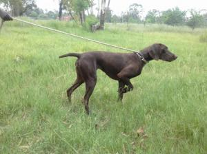 German shorthaired pointers...