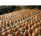 Best Quality Fresh Brown Chicken Eggs for sale