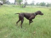 German shorthaired pointers for sale GSP