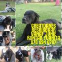 GreatDane Puppies for Sale
