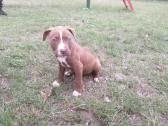 Pitbull pups for sale