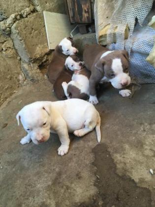 Beautiful American pitbull pups