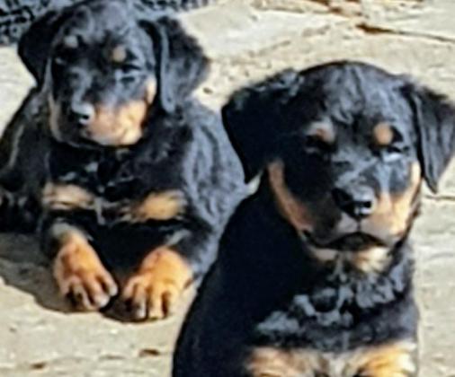 Rottweiler Puppies in Durban, KwaZulu-Natal