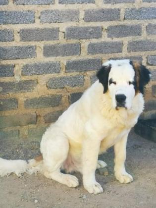 Saint bernard Male for sale in Fourways, Gauteng
