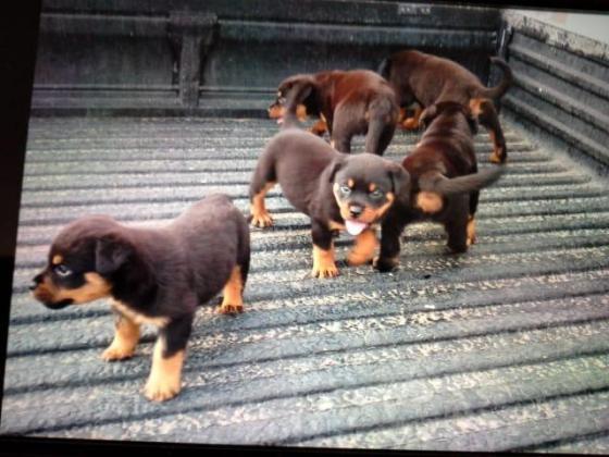 Puppies .. Rottweiler 4 sale in Durban, KwaZulu-Natal