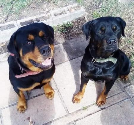 Registered Rottweiler Puppies for sale