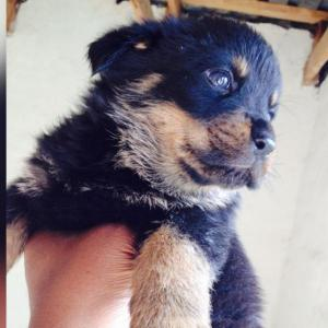 pure lion head rottweiler puppies for sale