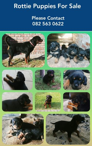 Rottweiler Puppies for Sale | Johannesburg | Public Ads Rottweiler