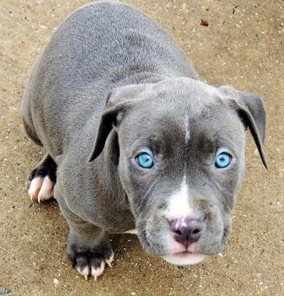 Awesome American Pitbull Terrier!!