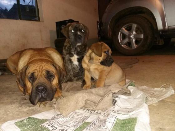 boerboel puppie for sale in Malmesbury, Western Cape