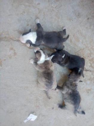 BULL TERRIER CROSS PIT BULL PUPPIES