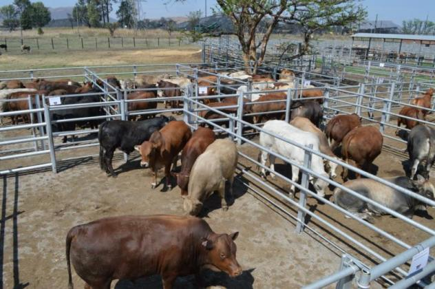 Healthy Cattle and live stock for sale in Theunissen, Free State