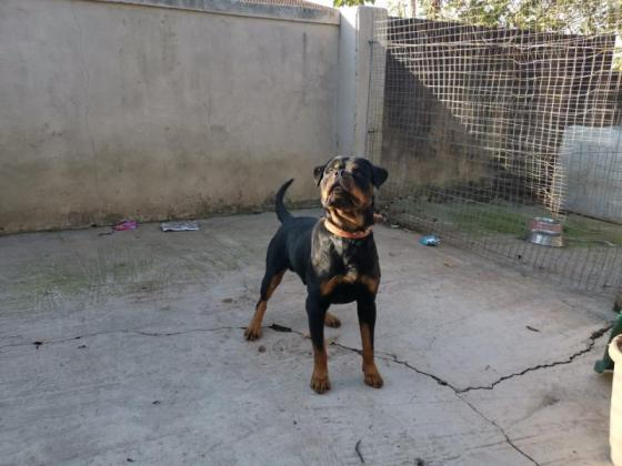 Lion head Rottweilers