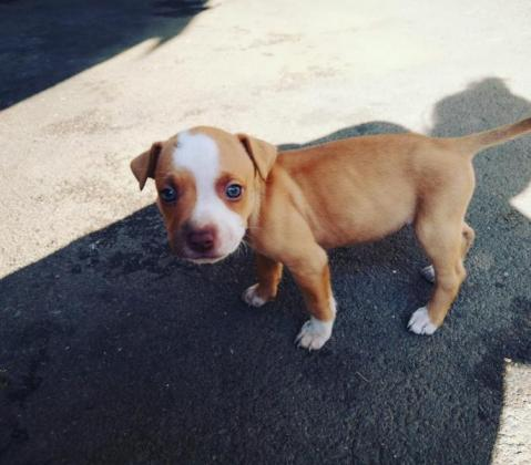pitbull x staffie pups for sale