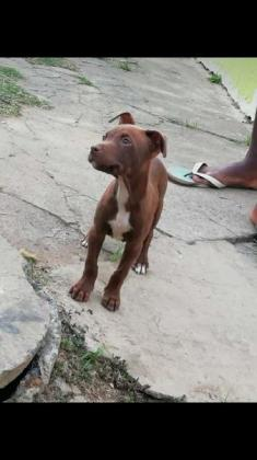 Pitbulls for sales