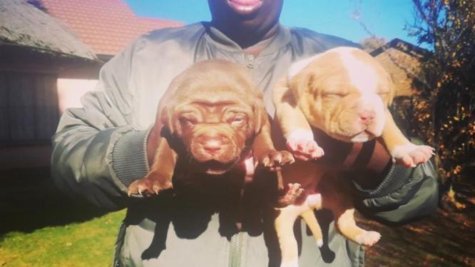American Pitbulls Puppies