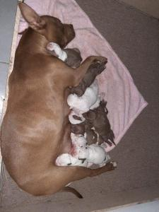 American Pit Bull Terrier Dogs Or Puppies for sale in