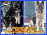 German Sheppards pure pedegee line