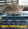 Giant and Goliath quail