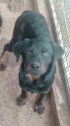 Rottweiler male 6 months old